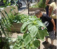 A child at AFSC's Friends Peace  Garden in South LA looks at  a giant sunflower in  amazement.